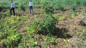 Avocafo farm